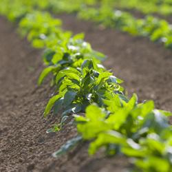 Plant de patate